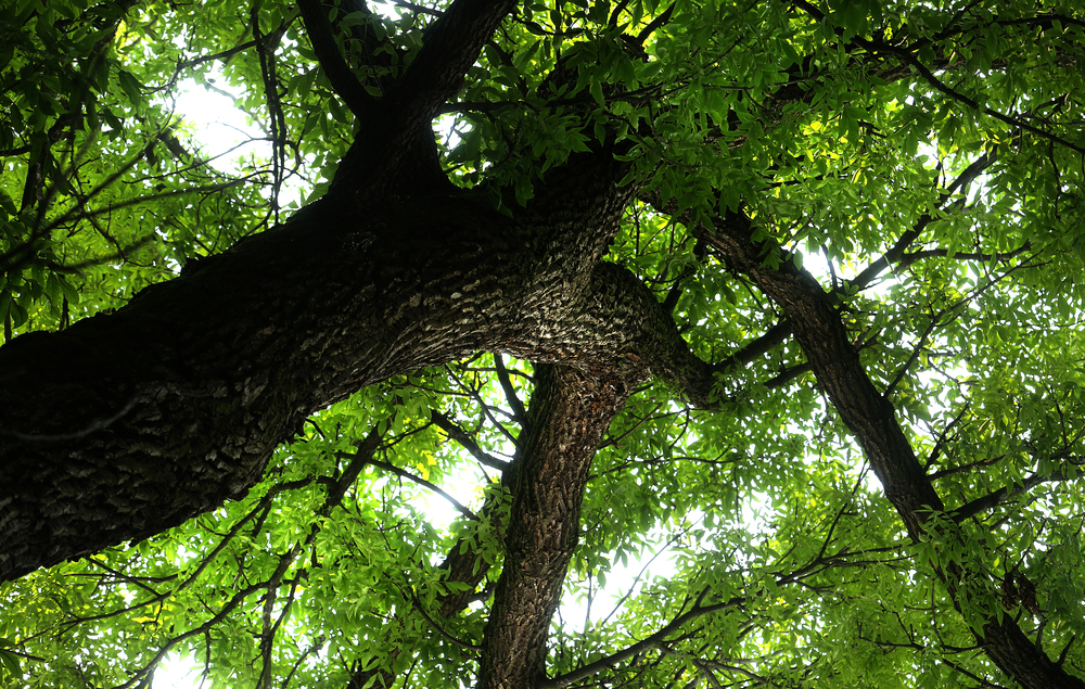 The view looking up into the canopy of the Champion Green Ash tree, which has held the record as the largest of its' type in Illinois since 1988. David Spencer/The State Journal-Register