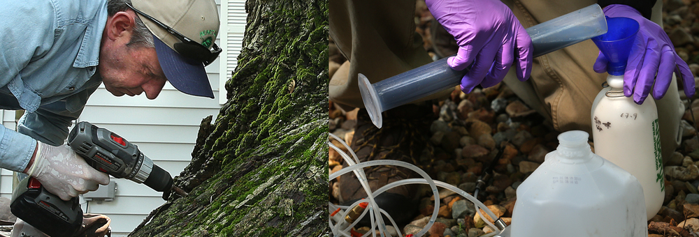 At left, Dan Coffin, a certified arborist with Heartwood Tree & Landscape Solutions of Mahomet uses a drill to make 32 holes near the base of the ash tree before the insecticide was injected on Tuesday. At right, Arborjet arborist Jeff Palmer uses protective gloves while transferring some of the ash borer insecticide into a holding container where tubes would be connected and hooked up to taps placed in each of the holes. David Spencer/The State Journal-Register