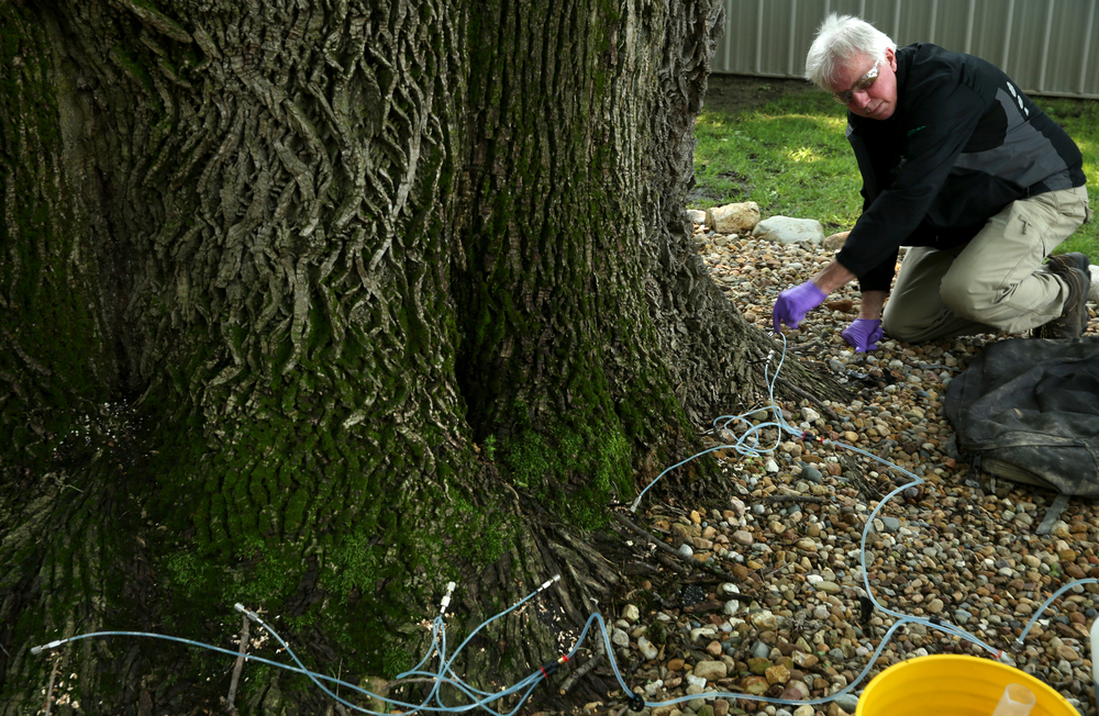Jeff Palmer releases some of the Ash Borer insecticide into the base of the tree. Because of the recent heavy rains, it took a little longer on Tuesday to inject the insecticide than it did two years ago because the soil was heavily saturated.David Spencer/The State Journal-Register