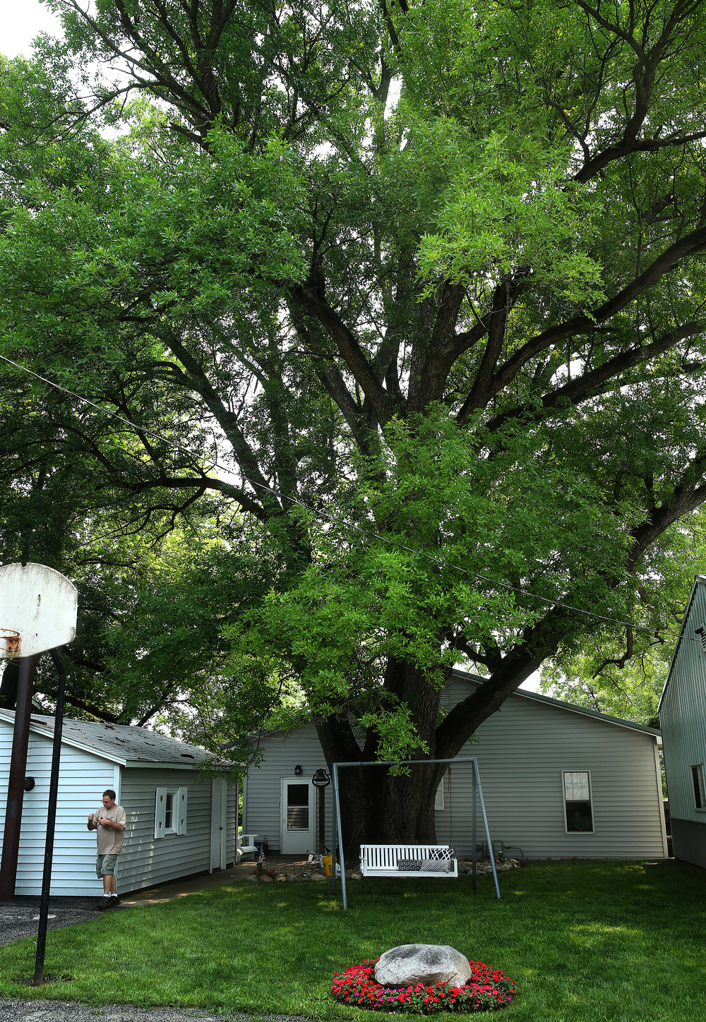 A view of the Champion Green Ash tree, which has held the record as the largest of its' type in Illinois since 1988. David Spencer/The State Journal-Register