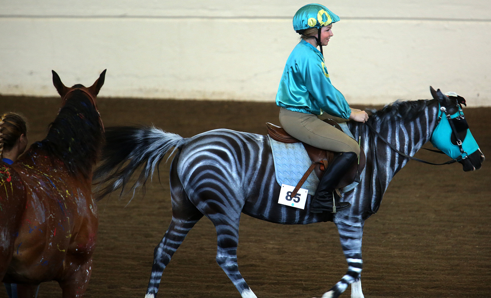 Jockey Korryn Baraks of Mercer county showed off her racing zebra (her horse Sometimes Angel) for the judges Thursday, and earned the blue ribbon in the 13-14 age class. David Spencer/The State Journal-Register