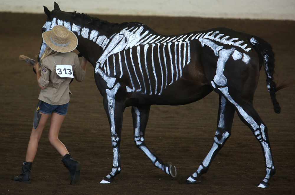 Samantha Merrigan of Kendall county shows off her horse Newman, featuring a skeleton paint job, for the judges on Thursday. David Spencer/The State Journal-Register