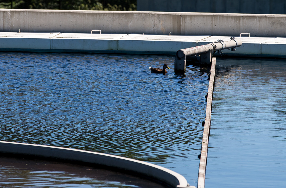 A duck hangs out in the secondary clarifier at the Springfield Metro Sanitary District's Spring Creek wastewater treatment plant, Friday, July 31, 2015, in Springfield, Ill. The waterfowl enjoy the water in the secondary clarifier due to how clean it has become at that point. Justin L. Fowler/The State Journal-Register
