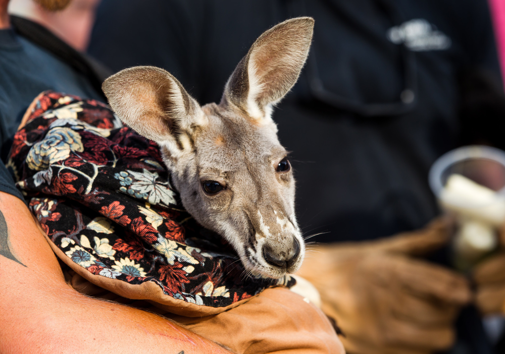 Travis Taylor of Eudora Farms holds a red kangaroo that will be on display at the farms exhibit in Happy Hollow at the Illinois State Fairgrounds, Thursday, Aug. 13, 2015, in Springfield, Ill. Justin L. Fowler/The State Journal-Register