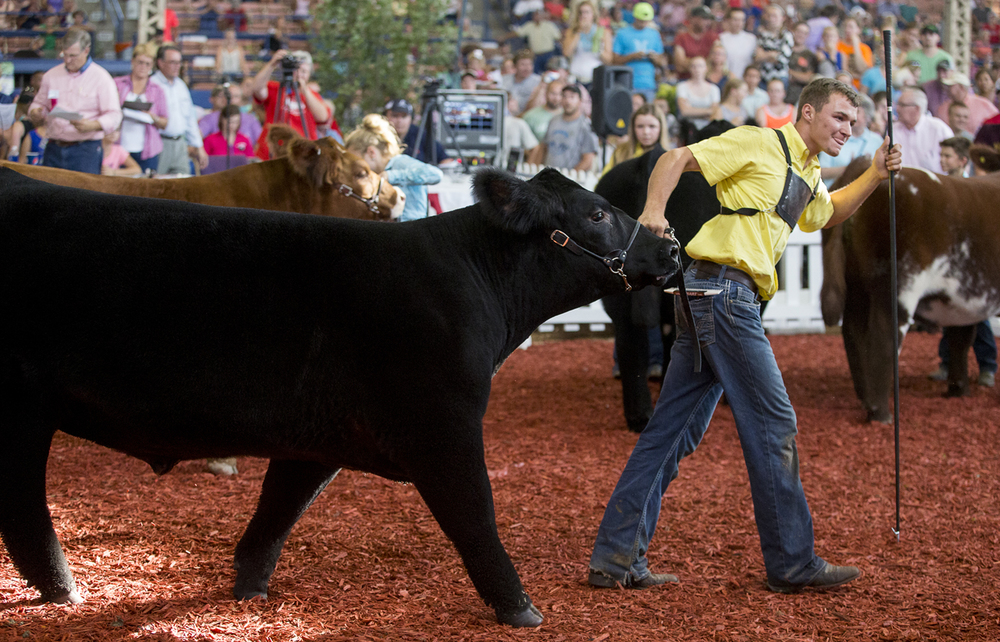 "A.J. Line of Mercer County wins the Jr. Grand Champion Steer with his crossbred that he calls ""Smitty"" during the Parade of Champions at the Coliseum on the Illinois State Fairgrounds, Saturday, Aug. 15, 2015, in Springfield, Ill. Justin L. Fowler/The State Journal-Register"