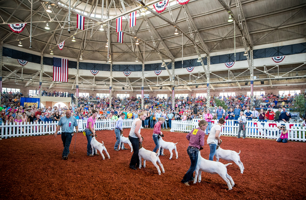 Participants make sure their goats are positioned correctly for judging in the Jr. Grand Champion Meat Goat competition during the Parade of Champions in the Coliseum at the Illinois State Fairgrounds, Saturday, Aug. 15, 2015, in Springfield, Ill. Justin L. Fowler/The State Journal-Register