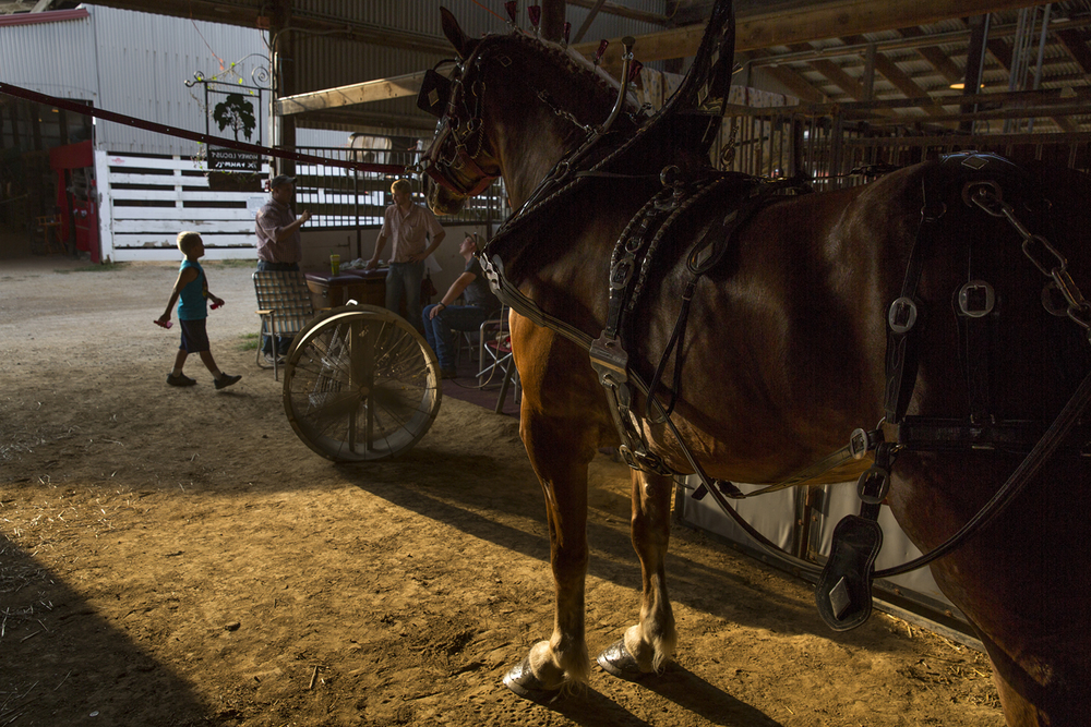 A Belgian mare that belongs to Honey Locust Belgians in Goodland, Ind. is prepared to join a six horse hitch for competition in the Coliseum at Illinois State Fair Monday, August 17, 2015. Rich Saal/The State Journal-Register