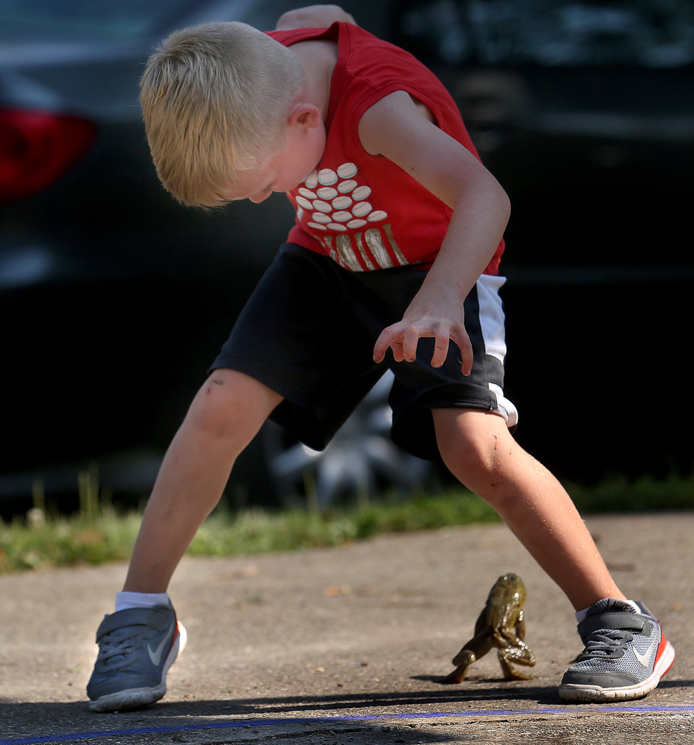 A large bullfrog scoots through the legs of five-year-old Tucker Dennis of Auburn as Dennis was practicing for the Frog Jumping event at Union Park Saturday morning. David Spencer/The State Journal-Register