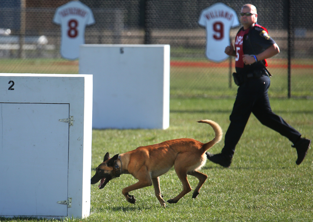 """Dogi"", the K-9 partner to Springfield police officer Ryan Maddox who keeps up in background, prepares to sniff around one of the boxes set up on a baseball diamond at Spartan Park Tuesday morning as part of the suspect search competition. David Spencer/The State Journal-Register"