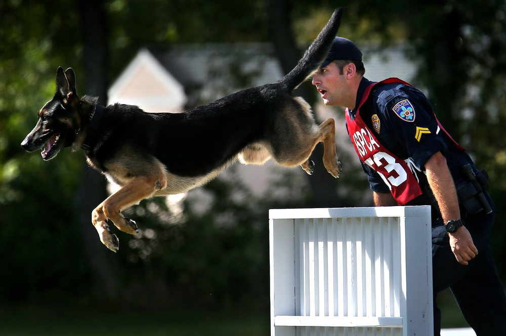 """Tag"", a German Shepard who is the partner of Baton Rough police K-9 officer T.J. Morse, leaps over a tall barrier at the canine obstacle course at LLCC on Tuesday morning. David Spencer/The State Journal-Register"