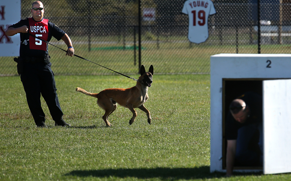 """Dogi"", along with partner Ryan Maddox of the Springfield Police Department, watch in background as former handler and current Springfield police officer Tim Ealey, playing the role of a suspect, emerges from the box Dogi had made a successful hit on Tuesday morning at Spartan Sports Park . David Spencer/The State Journal-Register"