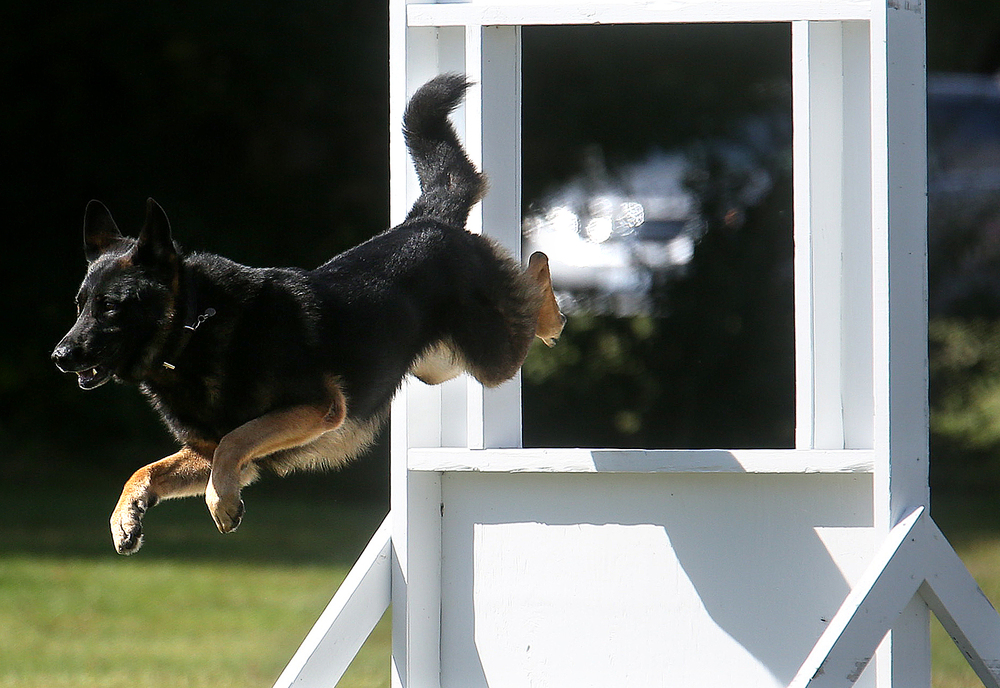Lucky, the partner of Baton Rouge K-9 police officer Bill Clarida, leaps through a window obstacle while competing on the course at LLCC Tuesday. David Spencer/The State Journal-Register