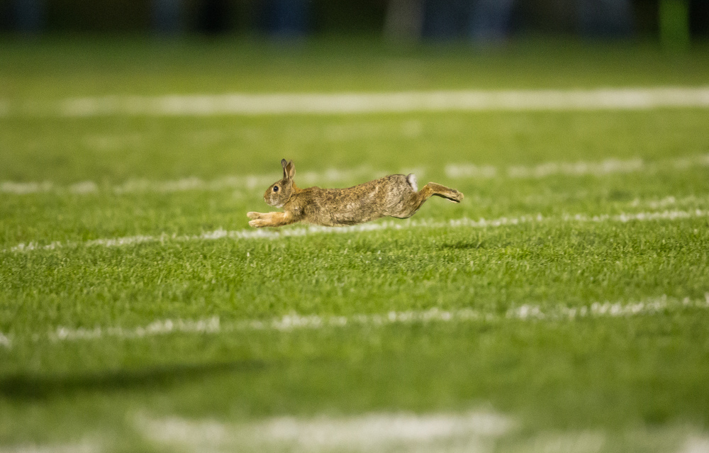 A rabbit leaps across the field as Glenwood takes on Sacred Heart-Griffin in the fist half at Glenwood High School, Friday, Oct. 2, 2015, in Chatham, Ill. Justin L. Fowler/The State Journal-Register