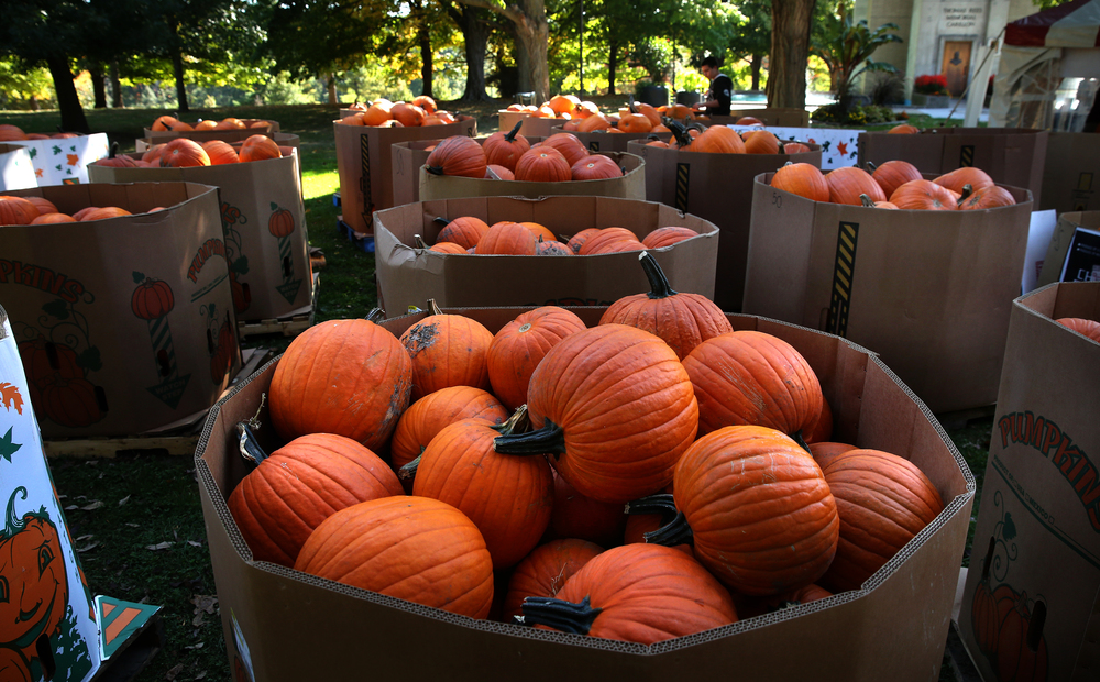 Some of the 2015 pumpkins in bins await carving Saturday morning. David Spencer/The State Journal-Register