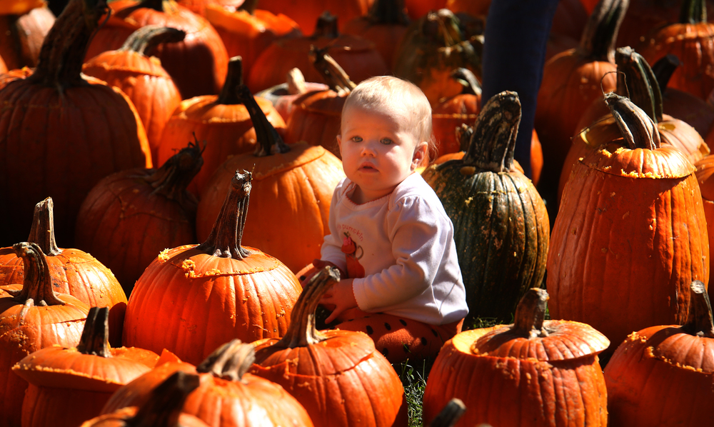 Alaina Law, who will be one next week, briefly found herself in a sea of pumpkins Saturday morning while mom Christy Law looks for the perfect angle to photograph her. David Spencer/The State Journal-Register