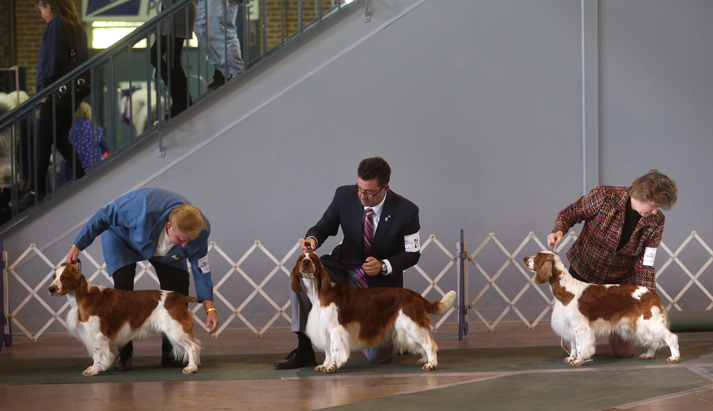 Welsh Springer Spaniels are arranged by handlers before judge Beth Speich Sunday morning. David Spencer/The State Journal-Register