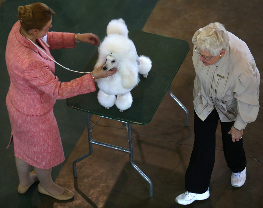 Judge Beverly Capstick at right looks over a minature poodle in one of the show rings Sunday morning. David Spencer/The State Journal-Register