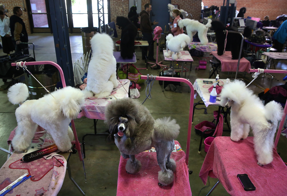 Poodles stand and sit on grooming tables waiting for their dates with the judge inside the Exposition building on Sunday morning. David Spencer/The State Journal-Register