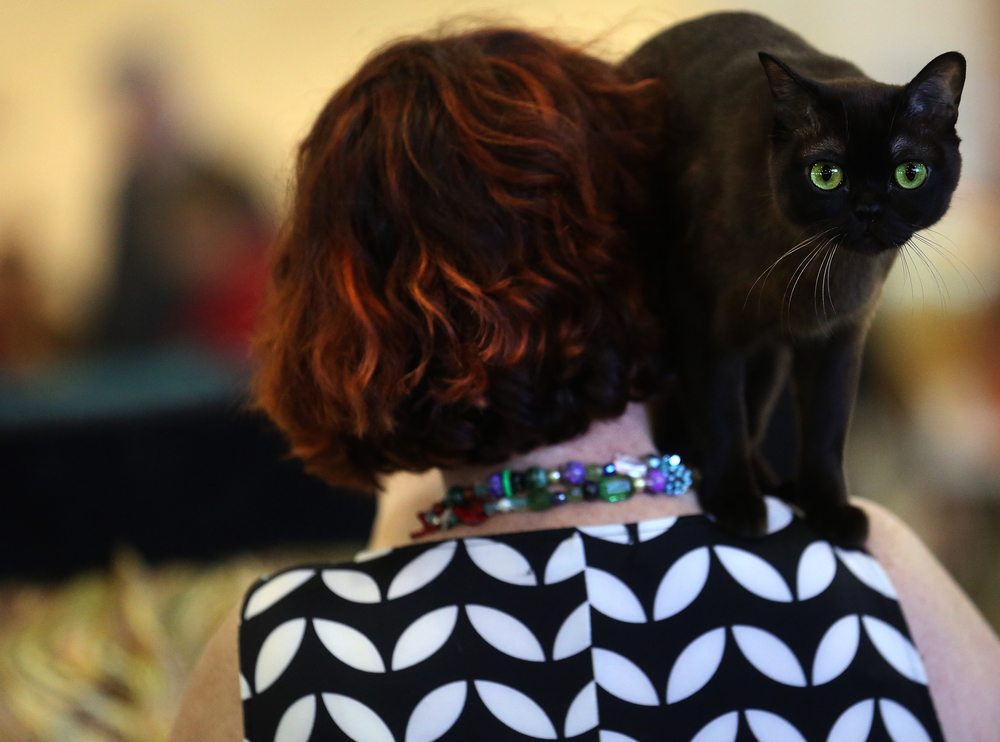 Franklin D. Roosevelt, a sable Burmese, balances on the shoulder of owner Jill Sullivan of Westwood, KS at the show. David Spencer/The State Journal-Register