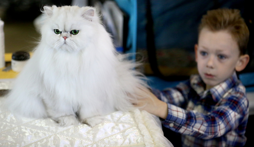 Brady Reid, 5, of Springfield, pets a shaded silver Persian owned by Eric Kuchar of Springfield going by the name of Grand Premier Lady Di Romeo-a cat often synonymous with Fancy Feast Cat Food. David Spencer/The State Journal-Register