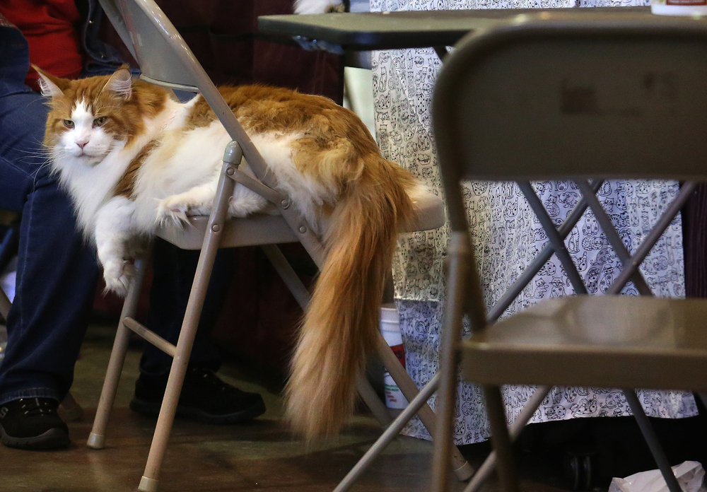 O'Hara, a Main Coon weighing in at 22 lbs., whose owner said he even had his own cat groupies, takes up most of a folding metal chair while hanging out behind the scenes at the show on Sunday. David Spencer/The State Journal-Register