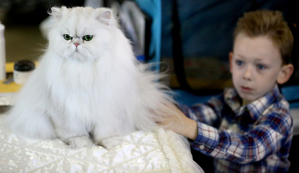 Brady Reid, 5, of Springfield, pets a shaded silver Persian owned by Eric Kuchar of Springfield going by the name of Grand Premier Lady Di Romeo-a cat often synonymous with Fancy Feast Cat Food?. Sunday, Oct. 18, 2015 was the final day for the 50th anniversary of the Illinois Feline Fanceirs cat show held at the Illinois Building, where 158 cats competed for ribbons from throughout the Midwest and points farther as well as the final day for the Prairieland Classic Dog Show held in the Exposition Building. The Illinois Capitol Kennel Club sponsored the dog show, with 830 dogs entered representing 140 different breeds or varieties. David Spencer/The State Journal-Register