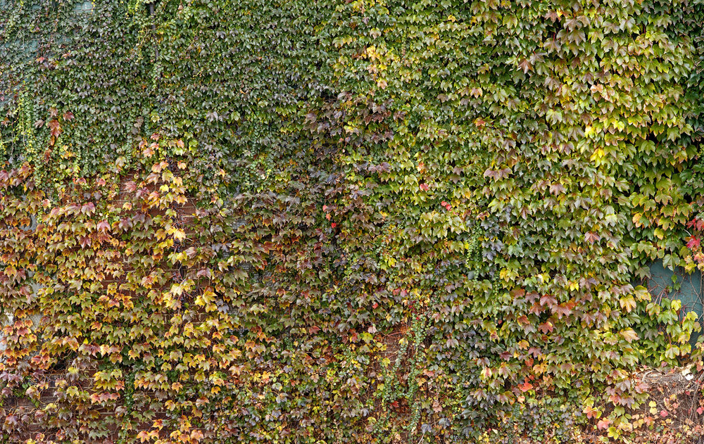 The north wall of Gietl Bros Auto Body shop in downtown Springfield is covered in colorful ivy Thursday, Oct. 29, 2015. Ted Schurter/The State Journal-Register