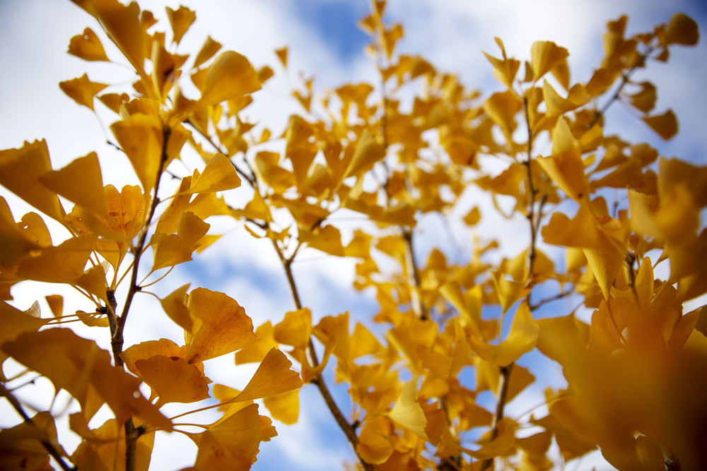 The yellow leaves of a young sapling stretch up toward a blue and white sky on Fourth Street in downtown Springfield Thursday, Oct. 29, 2015.  Ted Schurter/The State Journal-Register
