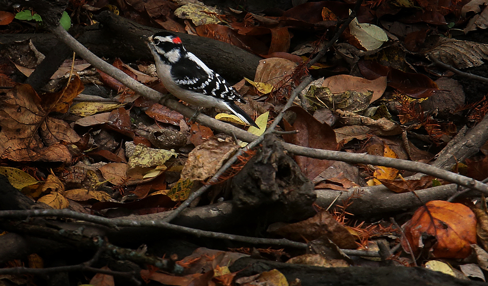 A Downy Woodpecker spends time on a downed branch underneath the Walgreen bridge at Lincoln Memorial Garden at Lake Springfield on Thursday, Oct. 29, 2015. David Spencer/The State Journal-Register