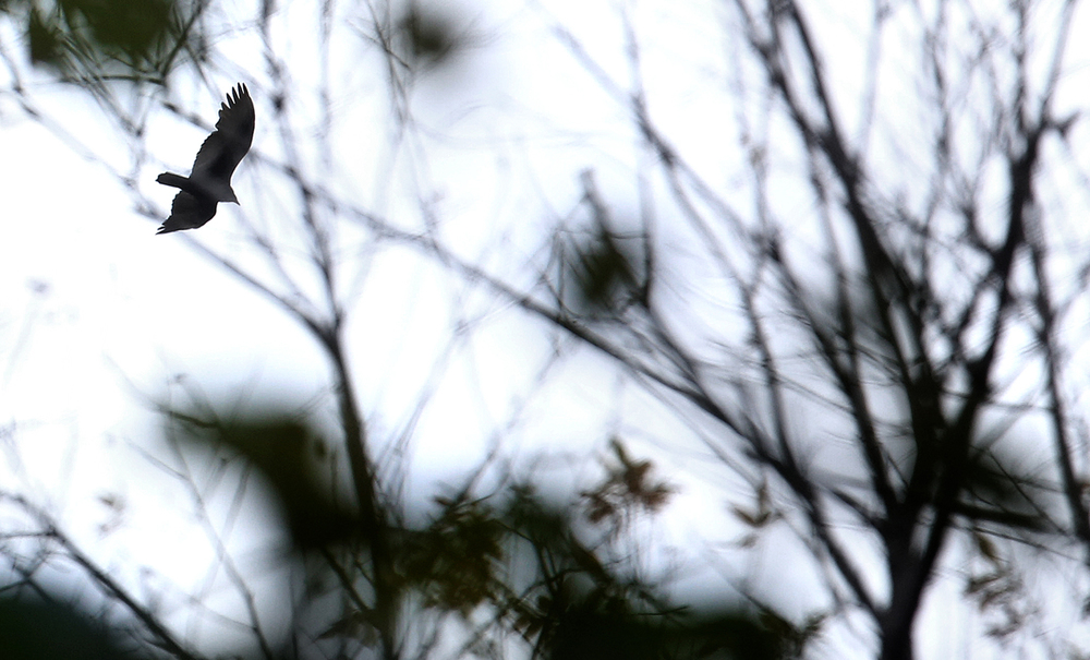 A hawk flys overhead on trees that have mostly shed their leaves at Lincoln Memorial Garden at Lake Springfield on Thursday, Oct. 29, 2015. David Spencer/The State Journal-Register