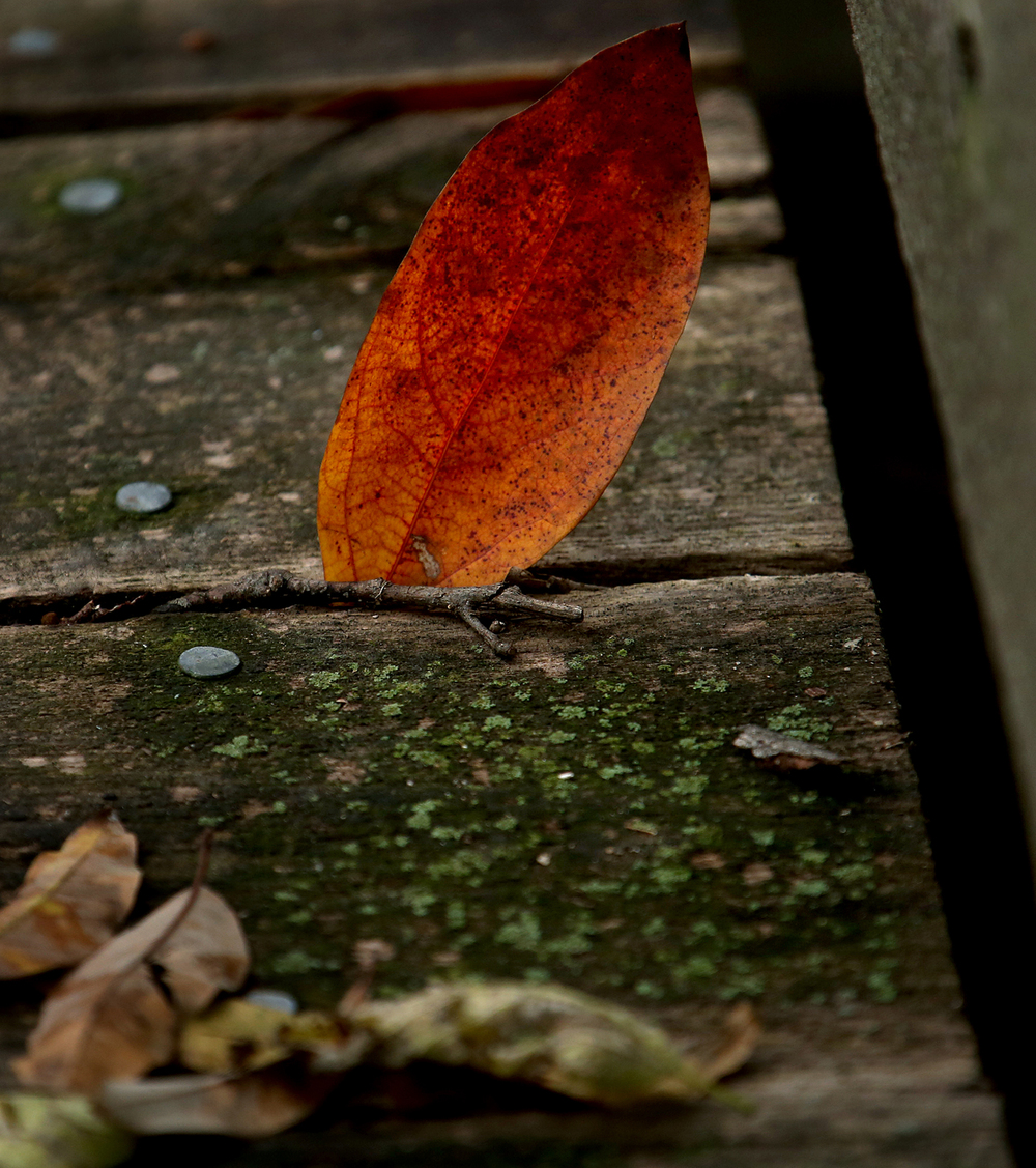 A colorful leaf lands and rests between two boards making up the pedestrian walkway of Walgreen bridge at Lincoln Memorial Garden at Lake Springfield on Thursday, Oct. 29, 2015. David Spencer/The State Journal-Register