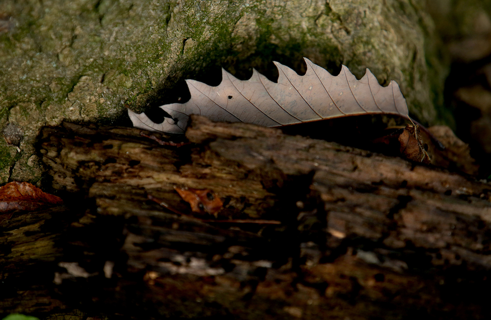 The serrated edge of a fallen leaf contrasts with the trunk of a tree where it rests and a rotten branch in the foreground at Lincoln Memorial Garden on the shore of Lake Springfield on Thursday, Oct. 29, 2015. David Spencer/The State Journal-Register