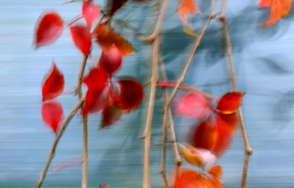 Red ivy leaves blow and blur in the wind at the Gietl Bros Auto Body shop in downtown Springfield Thursday, Oct. 29, 2015. Ted Schurter/The State Journal-Register