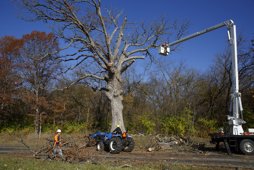 A white oak tree along Gudgel Road in Menard County said to be 260 years old, was cut down Monday, Nov. 2, 2015. Known as the Gudgel Oak, it suffered damage during recent drought years and died. Rich Saal/The State Journal-Register