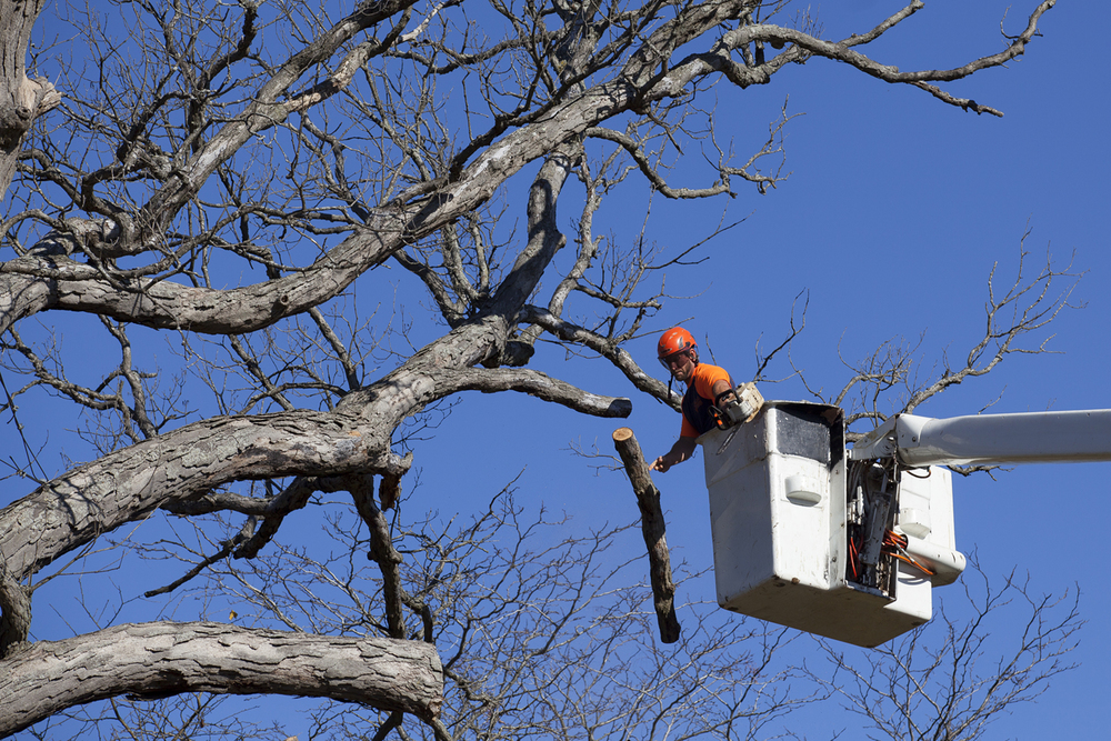 Zach Minor of Area Wide Professional Tree and Stump Removal, cut branches from the Gudgel Oak Monday, Nov. 2, 2015. Said to be 260 years old, the white oak tree suffered damage during recent drought years and died. Rich Saal/The State Journal-Register