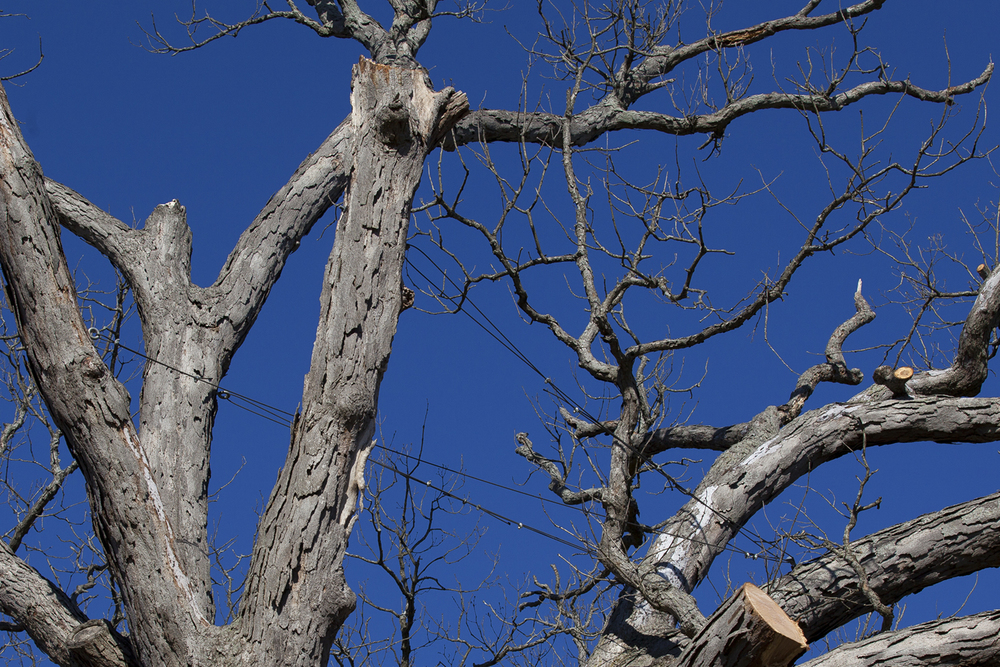To prevent splitting, cables were installed in the Gudgel Oak in 2005. The tree was cut down Monday, Nov. 2, 2015. Rich Saal/The State Journal-Register