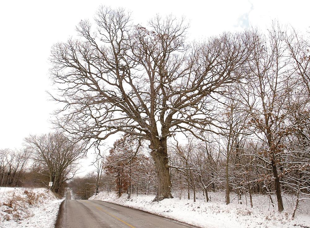 The Gudgel Oak in Menard County in January 2005. File/The State Journal-Register