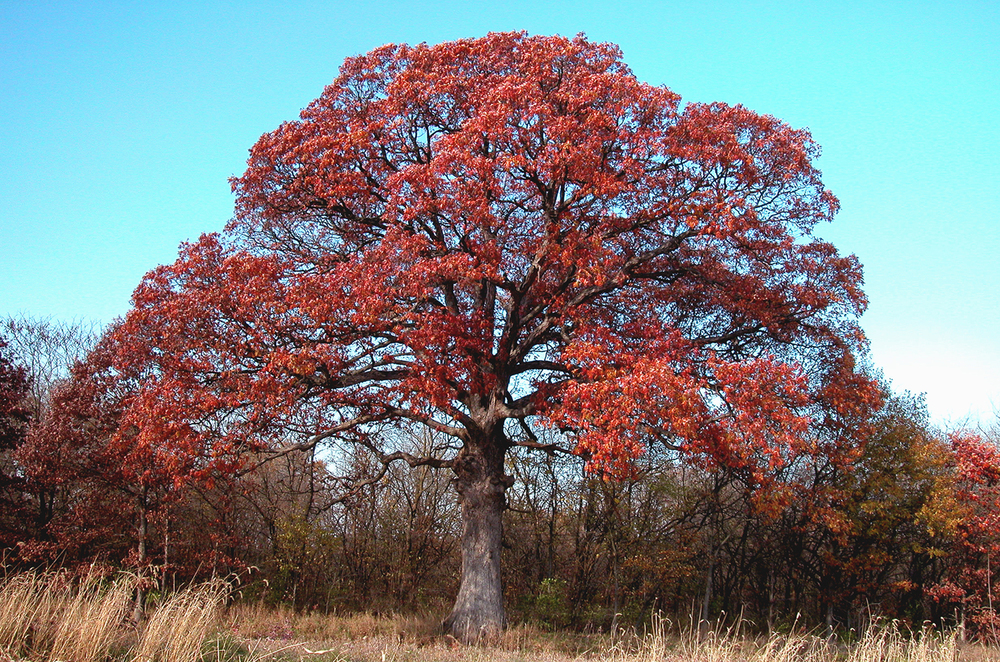 The Gudgel Oak in recent years. Courtesy Guy Sternberg/Starhill Forest Arboretum