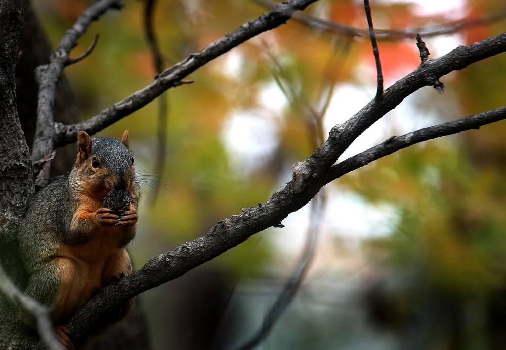 Perching on a low branch while checking out a visitor and digging into the shell of a nut, a squirrel prepares for winter at Lincoln Memorial Garden at Lake Springfield on Thursday, Oct. 29, 2015. David Spencer/The State Journal-Register