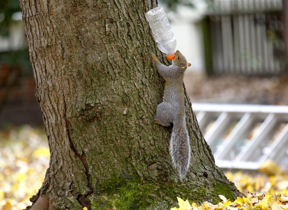 Only the squirrel would know the intended use of an empty sports drink bottle, which it ambitiously tried to carry up a tree on South Lowell Avenue Thursday, Nov. 5, 2015. Rich Saal/The State Journal-Register