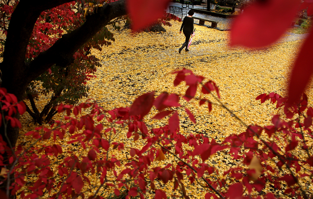 Framed by the red leaves of a Burning Bush, a bright yellow 