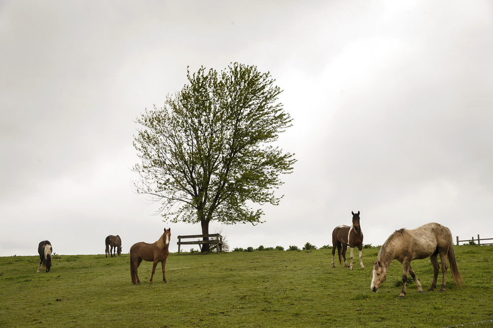 Five horses graze along the path of the annual Lincoln Trail Hike Saturday, April 25, 2015. The trail between New Salem State Historic Site in Petersburg and Stuart Park in Springfield is the first historic trail recognized by the National Council of the Boy Scouts of America. Ted Schurter/The State Journal-Register
