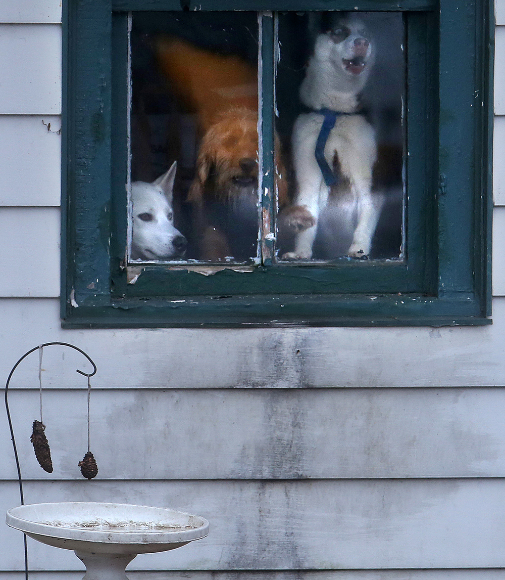 Pets, including these dogs owned by Jessica Rabideau of South Kincaid, were confined to homes for there safety due to flooding along Springfield St. on Wednesday, Dec. 30, 2015. In Kincaid, which sits near the South Fork of the Sangamon River, floodwaters closed a section of Illinois 104, with a section of homes in South Kincaid along Springfield St. surrounded by water cut off. Volunteers using atv's ferried supplies into the area for homes that still had power not affected by the flooding.  David Spencer/The State Journal-Register