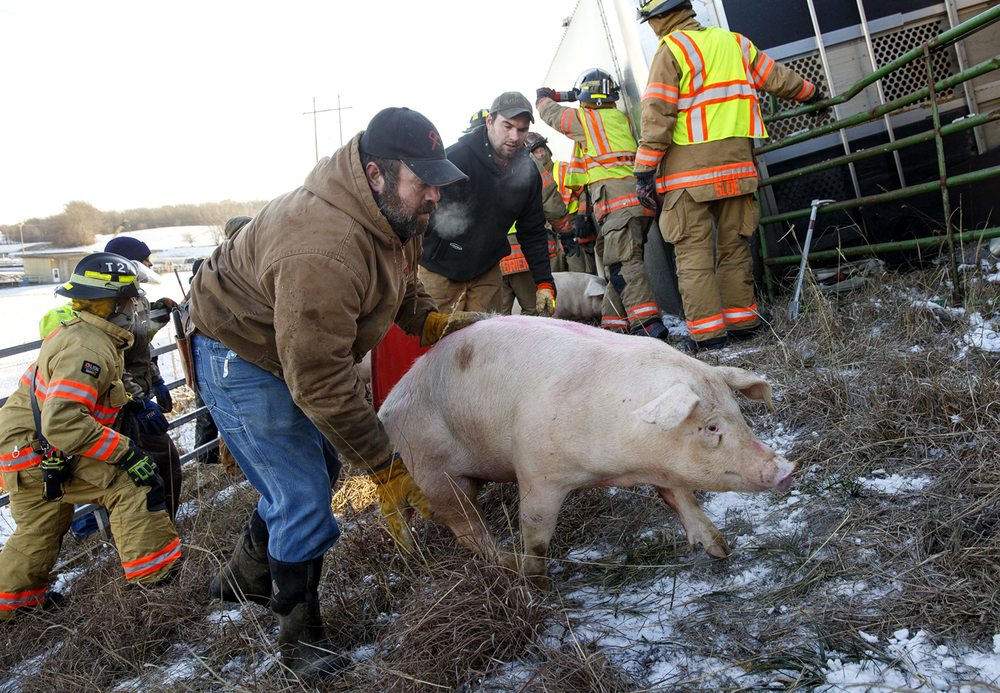 Workers attempt to direct pigs into a chute and into a new trailer after the driver of the truck carrying them lost control of his vehicle while exiting Interstate 55 onto Interstate 72 Tuesday, Jan. 12, 2016. After attempts to hoist the trailer upright failed, firefighters cut a hole in the trailer to allow the pigs out.  Ted Schurter/The State Journal-Register