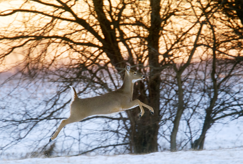 A white-tailed deer bounds away after its companions west of Lincoln Trail at dusk Wednesday, Jan. 13, 2016. Ted Schurter/The State Journal-Register