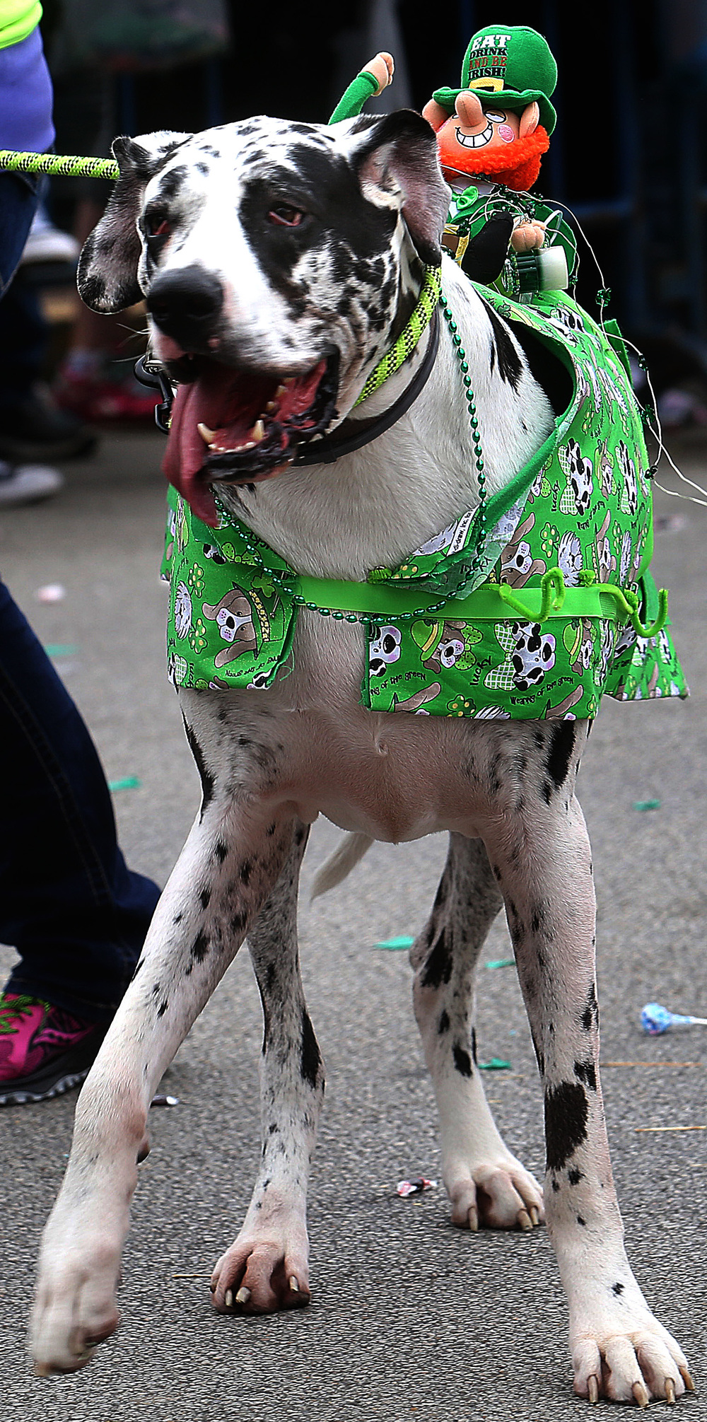 Canines, including this Great Dane who was taking a toy plush leprechaun for a ride on its' back, were spotted along the parade route. David Spencer/The State Journal Register