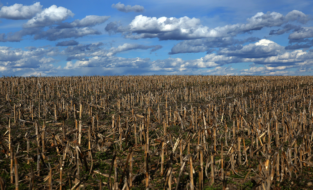 Farmland cornstalks in a field alongside Mechanicsburg Rd. just east of Clear Lake Rd. in Dawson. Photographed on Wednesday, March 16, 2016. David Spencer/The State Journal Register