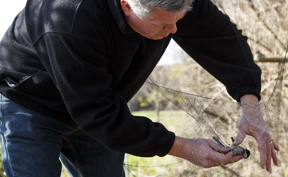 Tony Rothering, professor of biology at Lincoln Land Community College, removes a black capped chickadee from a net at the college's bird banding station Tuesday, March 22, 2016. The Lincoln Land Association of Bird Banders held a ribbon cutting ceremony for a building that is their new home on the north edge of campus, and the chickadee was used in a demonstration of how the birds are caught, banded and recorded before being released. The school's construction trades students built the building, which is shared by the athletic department. Rich Saal/The State Journal-Register