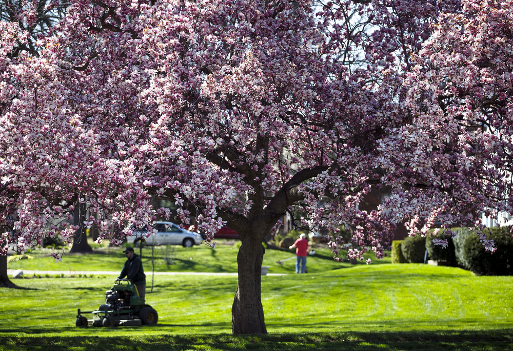 A crew from Springfield Lawn Barber works a yard near a blooming magnolia tree on Chatham Road west of Washington Park, Monday, March 28, 2016, in Springfield, Ill. Justin L. Fowler/The State Journal-Register