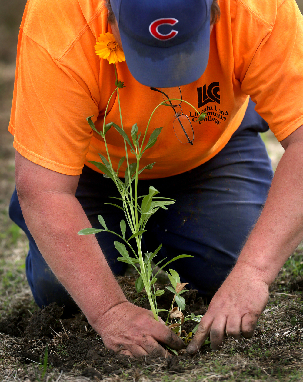 LLCC grounds maintenance employee Scott Woodrum plants a Coreopsis in the new Oak savanna native prarie area on campus Thursday morning. As part of Earth Week at Lincoln Land Community College in Springfield, employees planted approximately 260 native wildflowers on Thursday, April 21, 2016 within an Oak savanna native prairie area newly established last year on campus. The wildflowers Coreopsis, Butterfly Milkweed, Royal Catchfly and Penstemon joined approximately 30 trees including Swamp white oaks and Burr oaks previously planted on the over three-acre savanna that will be fully established in about 10-15 years. David Spencer/The State Journal-Register